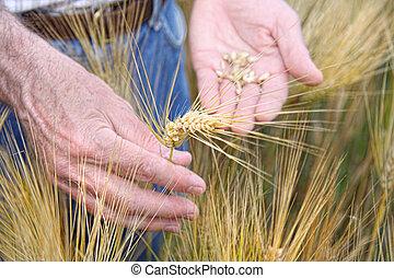 Manos sosteniendo trigo