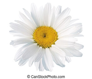 margaritas blancas de fondo blanco