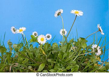 margaritas de primavera y hierba