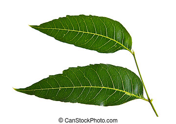 Margosa, nim o neem árbol, hoja de Genus Melia aislada en el fondo blanco