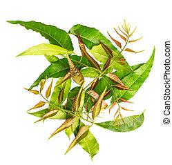 Margosa (también llamada Nim, Neem Tree, Melia, Azadirachta indica, caoba, Meliaceae Margosa, Sadao, o Melia Azedarach) hoja aislada en fondo blanco