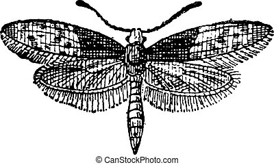 mariposa, grabado, moth, vendimia, brassolis, o, liphyra
