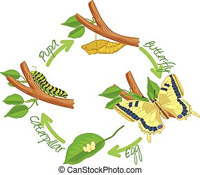 mariposa, metamorfosis