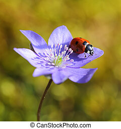 Mariquita soltera en flor violeta en primavera