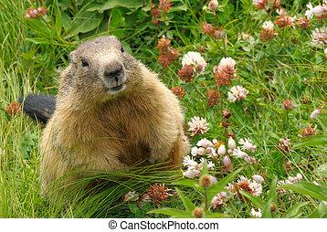 Marmota en su hábitat natural