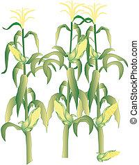 mazorca de maíz, ilustración, tallos