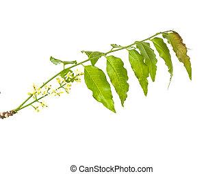 medicinal, hojas, flor, encima, plano de fondo, neem, blanco