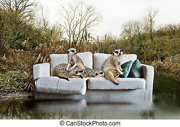 meerkats, couch., concepto, atrapado, ambiental, abandonado