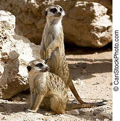 meerkats, curioso, pareja