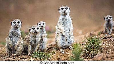 meerkats, posición, atento, guardia