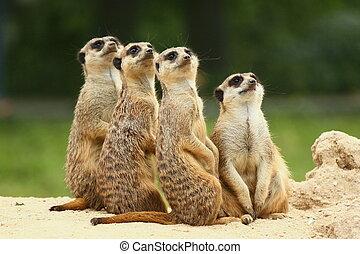 meerkats, posición, grupo