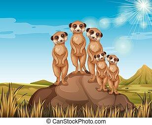 meerkats, posición, roca