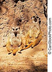 meerkats, rock., contra, sentado