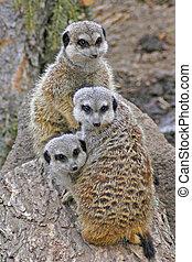meerkats, tres