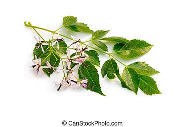 Melia Azedarach, Chinaberry, Orgullo de la India, Beadtree, Cape Lilac, Siringa Berrytree, lila persa