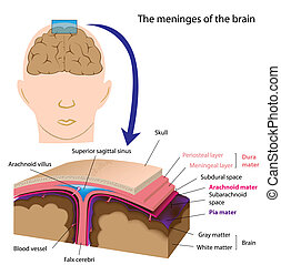 Meninges del cerebro, eps8