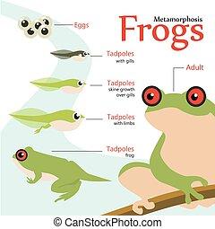 Metamorfosis ciclo de vida de una ilustración de vectores de rana
