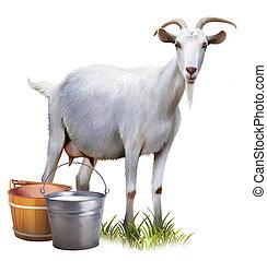 milk., cubos, lleno, cabra blanca