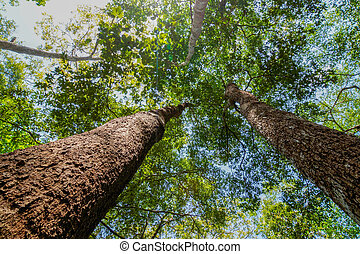 Mirando el maletero de un árbol de selva gigante al dosel, Tailandia.