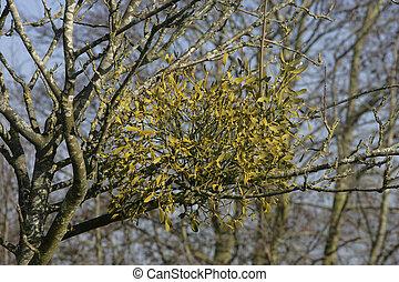 Mistletoe, álbum viscum, Gloucestershire