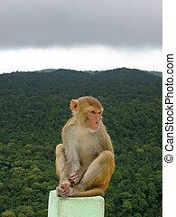 Mono sentado en una roca frente a una jungla tropical, Mont Popa, Myanmar