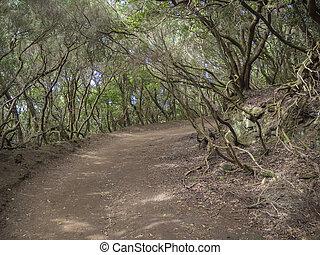 montaña, de, rainforest, trayectoria, árbol verde, canario, mossed, españa, laurel, tenerife, viejo, los, od, anaga, bosque, senda, sentidos, sendero, curva, sentidos, laurisilva, misterio, isla, primario