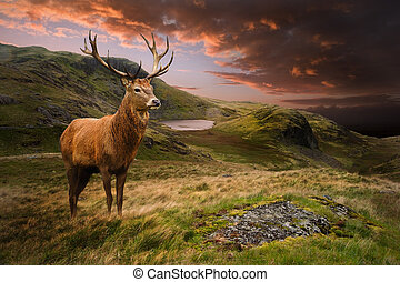 montaña, venado, ciervo, dramático, ocaso, rojo, paisaje, temperamental