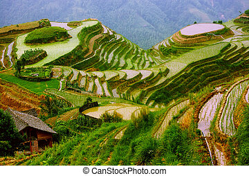 montaje, yunnan, arroz, china, terrazas