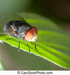 mosca, insecto