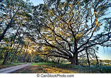 Moss cubrió roble vivo sobre el río Edisto en la plantación de Botánica Bay en Carolina del Sur