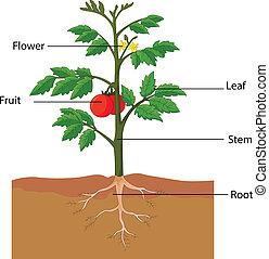 Mostrando las partes de una planta de tomate