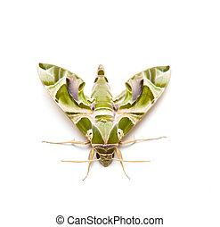 moth, mariposa, noche
