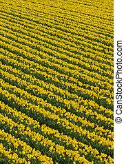 Muchas filas de flores amarillas de narcisos en un campo.