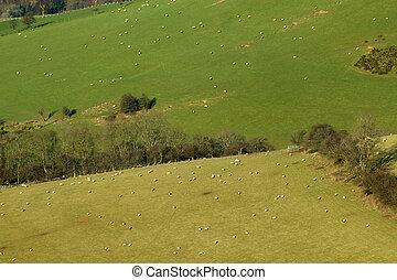 Muchas ovejas en los campos al lado de una colina en Gales UK.