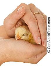 mujer, sueño, manos, bebé, proteger, pollo