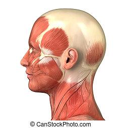muscular, cabeza, sistema, vista, lateral, derecho, anatomía