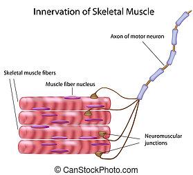 Musculo esqueleto,