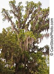 Musgo español colgando en un árbol alto
