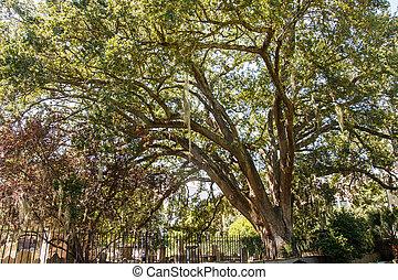 Musgo español en árbol sobre cementerio en cerca de hierro
