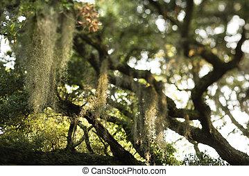 Musgo español en el árbol.