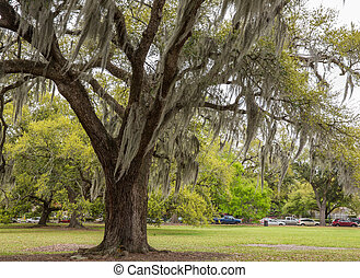 Musgo español en el parque de Nueva Orleans
