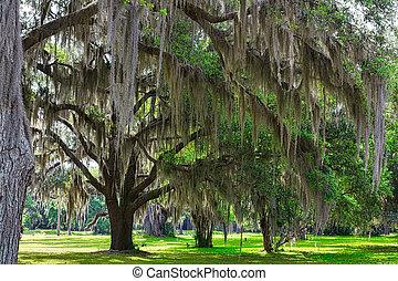 Musgo español en los árboles