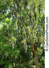 Musgo español en un árbol