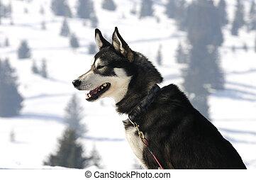 nórdico, agradable, nieve, perro