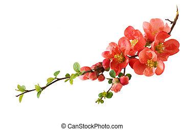 naranja, flor de cerezo