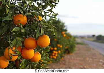 naranja, valencia, árboles
