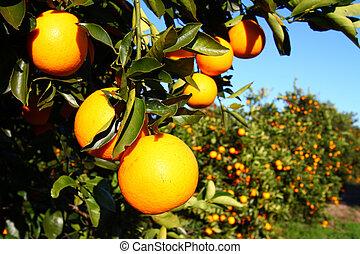 naranjas de Florida
