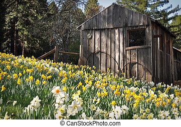 narciso, cabaña, atracción turística, primavera, california, colina