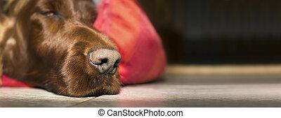 Nariz de perro perezoso