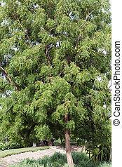 Neem (Azadirachta indica) árbol